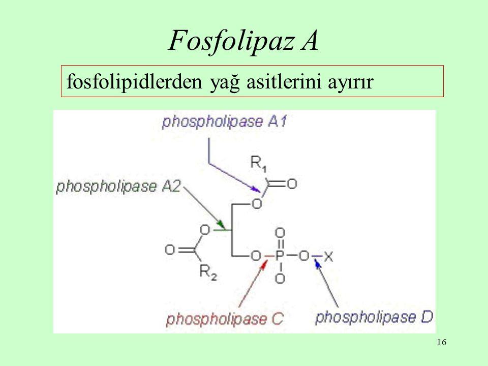 16 Fosfolipaz A fosfolipidlerden yağ asitlerini ayırır