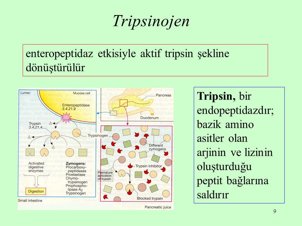 9 Tripsinojen enteropeptidaz etkisiyle aktif tripsin şekline dönüştürülür Tripsin, bir endopeptidazdır; bazik amino asitler olan arjinin ve lizinin ol