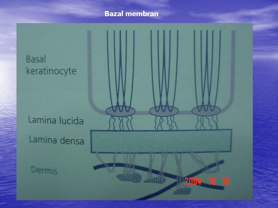 Bazal membran