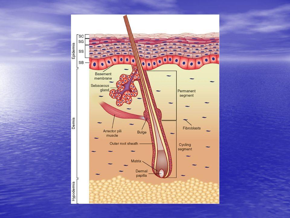 EPİDERMİS 1- Bazal tabaka (Stratum bazale) 2- Spinal tabaka (St.