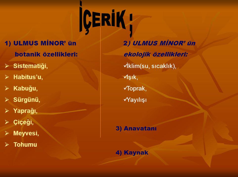 1)ULMUS MİNOR' ün botanik özellikleri:  Sistematiği,  Habitus'u,  Kabuğu,  Sürgünü,  Yaprağı,  Çiçeği,  Meyvesi,  Tohumu 2) ULMUS MİNOR' ün ek