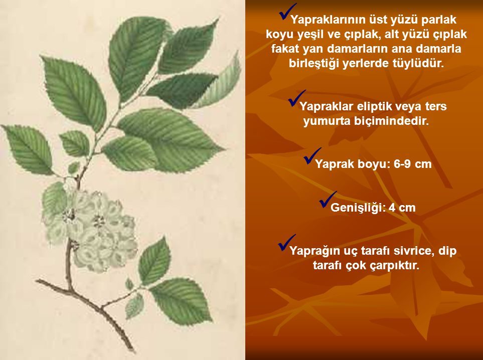 Yapraklarının üst yüzü parlak koyu yeşil ve çıplak, alt yüzü çıplak fakat yan damarların ana damarla birleştiği yerlerde tüylüdür. Yapraklar eliptik v