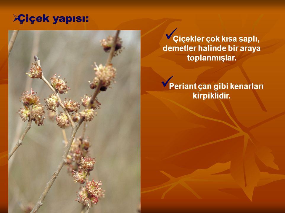  Çiçek yapısı: Çiçekler çok kısa saplı, demetler halinde bir araya toplanmışlar. Periant çan gibi kenarları kirpiklidir.