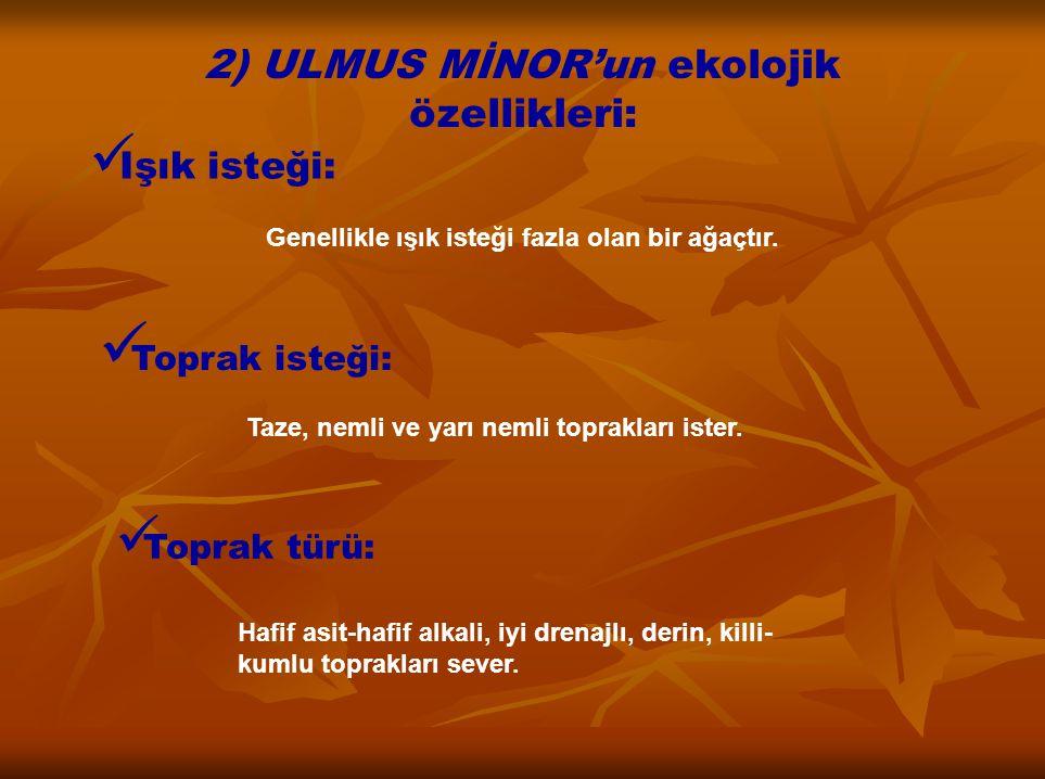 2) ULMUS MİNOR'un ekolojik özellikleri: Işık isteği: Genellikle ışık isteği fazla olan bir ağaçtır. Toprak isteği: Taze, nemli ve yarı nemli topraklar