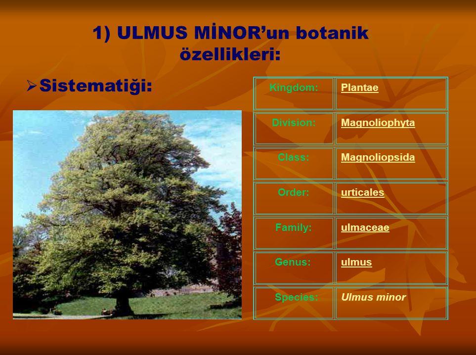Kingdom:Plantae Division:Magnoliophyta Class:Magnoliopsida Order:urticales Family:ulmaceae Genus:ulmus Species:Ulmus minor 1) ULMUS MİNOR'un botanik ö