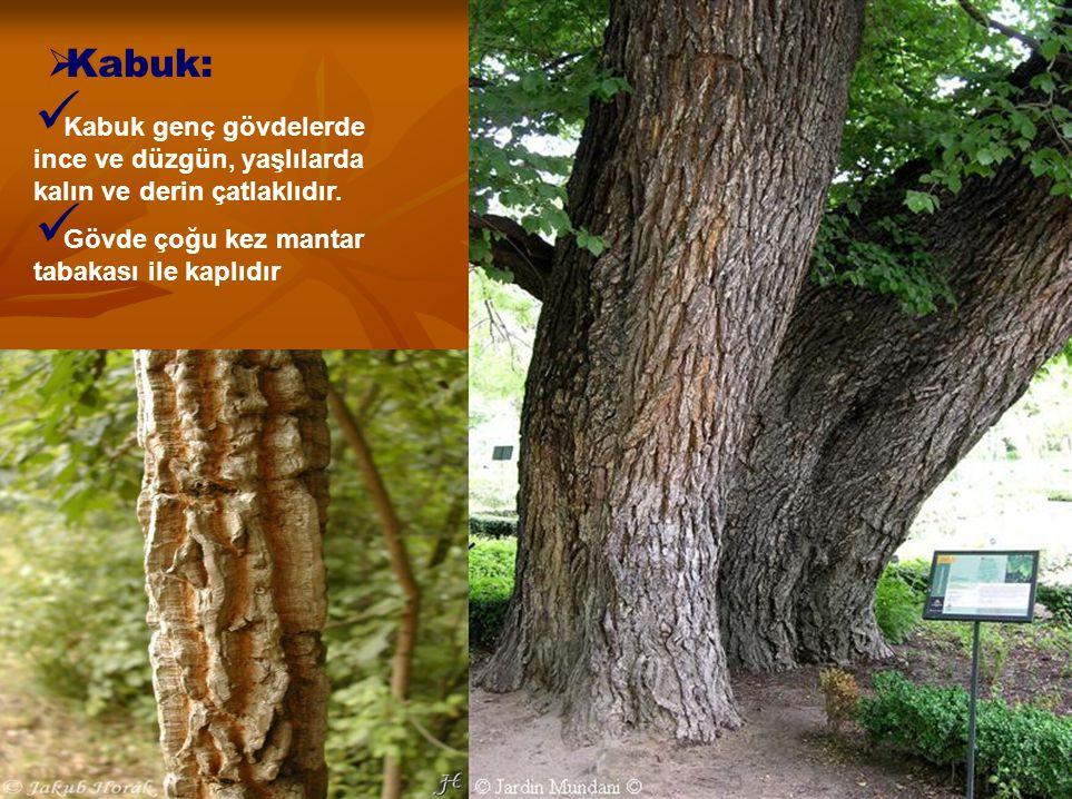 Kabuk: Kabuk genç gövdelerde ince ve düzgün, yaşlılarda kalın ve derin çatlaklıdır. Gövde çoğu kez mantar tabakası ile kaplıdır