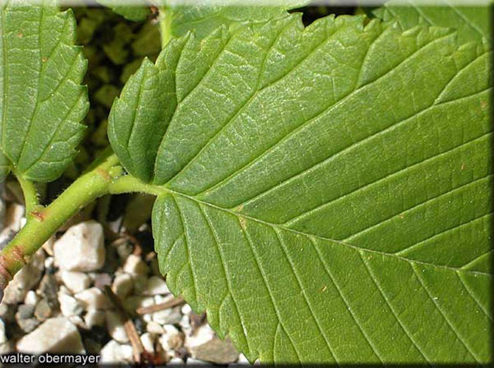 2) ULMUS MİNOR'un ekolojik özellikleri: Işık isteği: Genellikle ışık isteği fazla olan bir ağaçtır.
