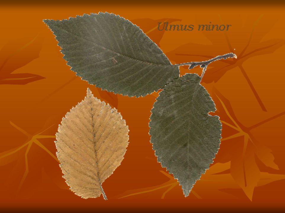Yapraklarının üst yüzü parlak koyu yeşil ve çıplak, alt yüzü çıplak fakat yan damarların ana damarla birleştiği yerlerde tüylüdür.