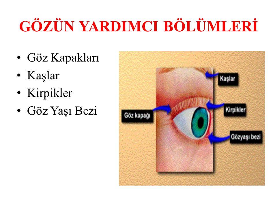 GÖZÜN YARDIMCI BÖLÜMLERİ Göz Kapakları Kaşlar Kirpikler Göz Yaşı Bezi