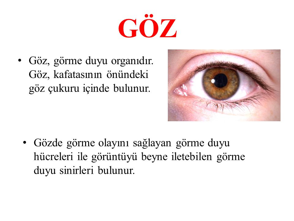 GÖZ Göz, görme duyu organıdır. Göz, kafatasının önündeki göz çukuru içinde bulunur. Gözde görme olayını sağlayan görme duyu hücreleri ile görüntüyü be