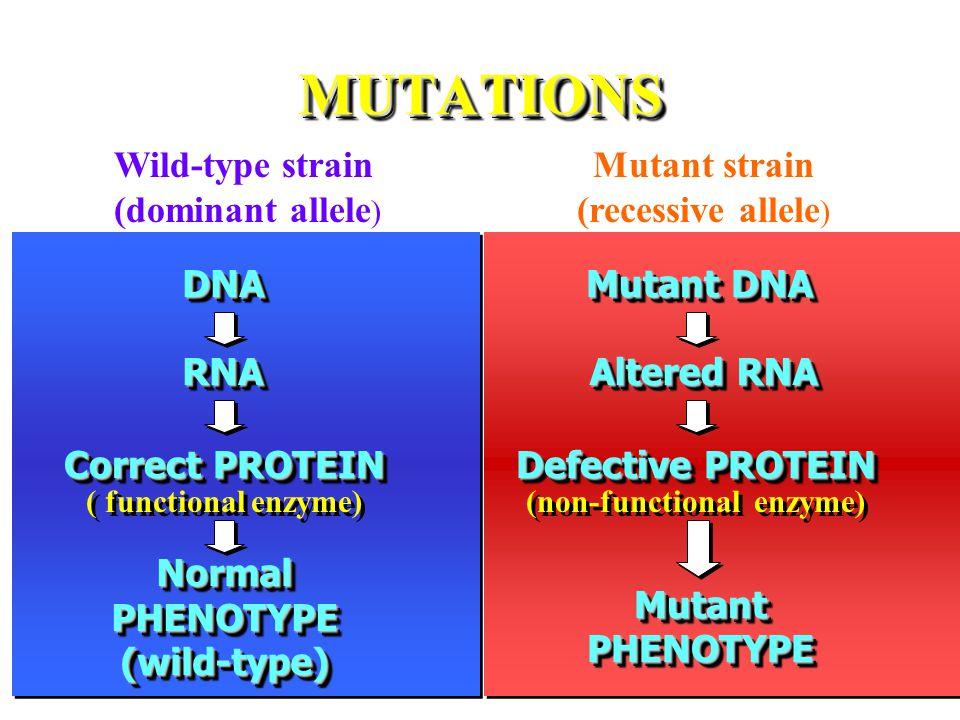 MUTATIONSMUTATIONS DNADNA RNARNA Normal PHENOTYPE (wild-type) Correct PROTEIN Correct PROTEIN ( functional enzyme) Mutant DNA Altered RNA Mutant PHENOTYPE Defective PROTEIN Defective PROTEIN (non-functional enzyme) Wild-type strain (dominant allele ) Mutant strain (recessive allele )