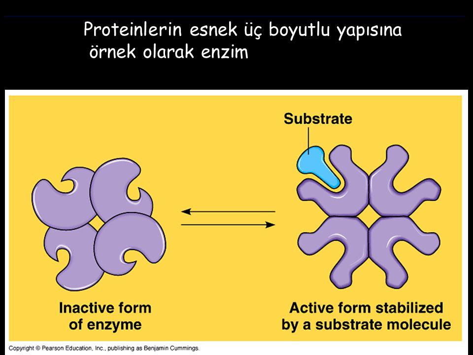 Proteinlerin esnek üç boyutlu yapısına örnek olarak enzim