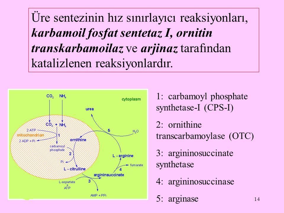 14 Üre sentezinin hız sınırlayıcı reaksiyonları, karbamoil fosfat sentetaz I, ornitin transkarbamoilaz ve arjinaz tarafından katalizlenen reaksiyonlar