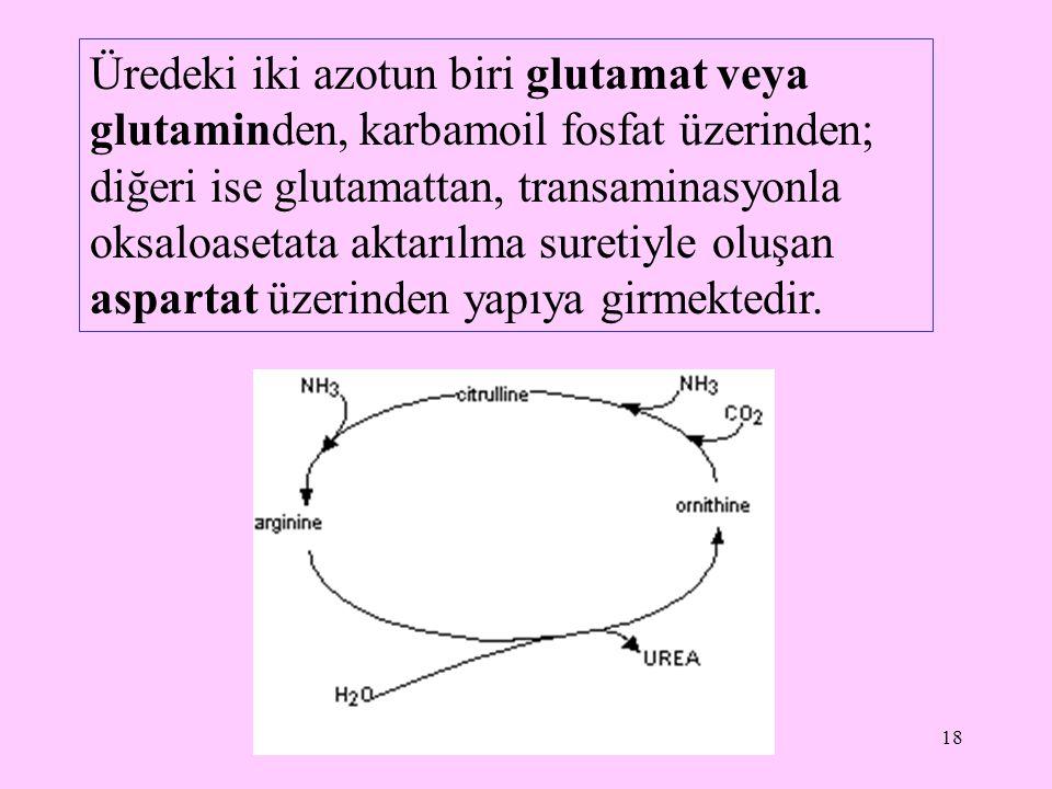 18 Üredeki iki azotun biri glutamat veya glutaminden, karbamoil fosfat üzerinden; diğeri ise glutamattan, transaminasyonla oksaloasetata aktarılma sur