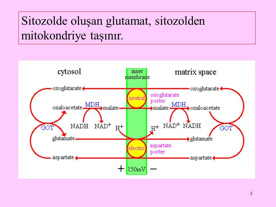 3 Sitozolde oluşan glutamat, sitozolden mitokondriye taşınır.