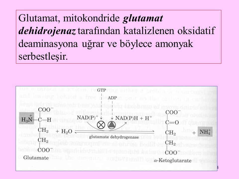 4 Glutamat, mitokondride glutamat dehidrojenaz tarafından katalizlenen oksidatif deaminasyona uğrar ve böylece amonyak serbestleşir.