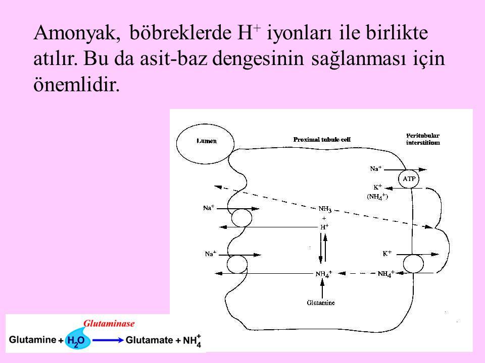8 Amonyak, böbreklerde H + iyonları ile birlikte atılır. Bu da asit-baz dengesinin sağlanması için önemlidir.
