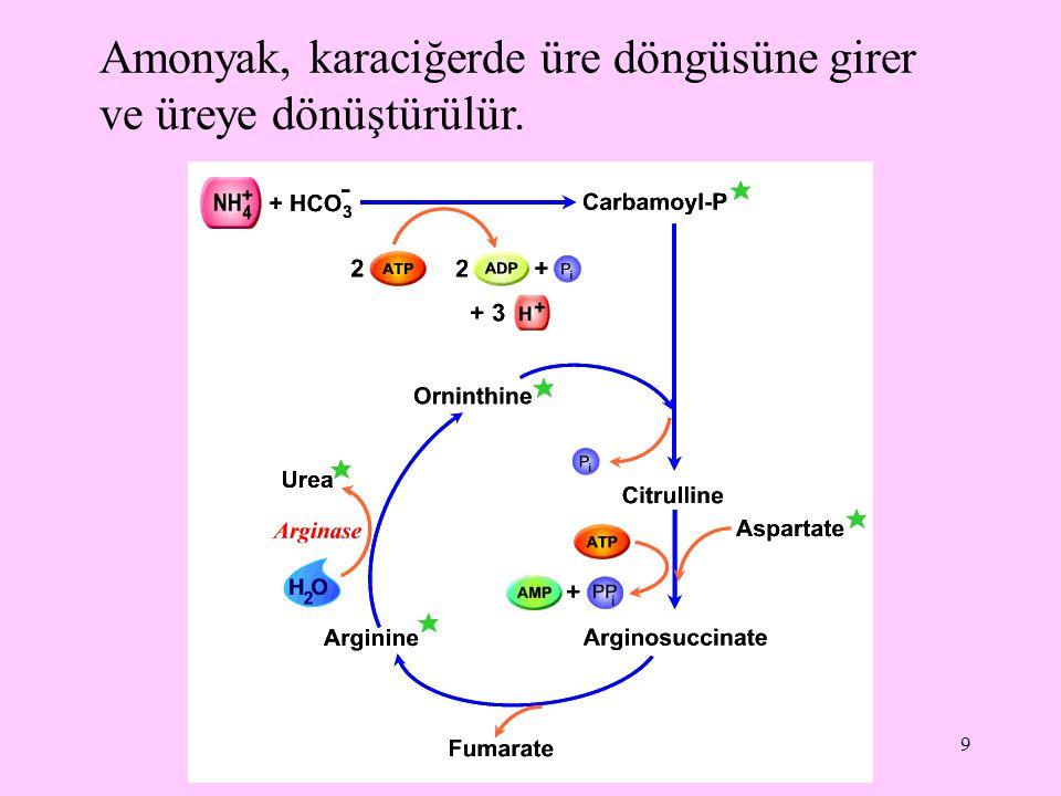 9 Amonyak, karaciğerde üre döngüsüne girer ve üreye dönüştürülür.