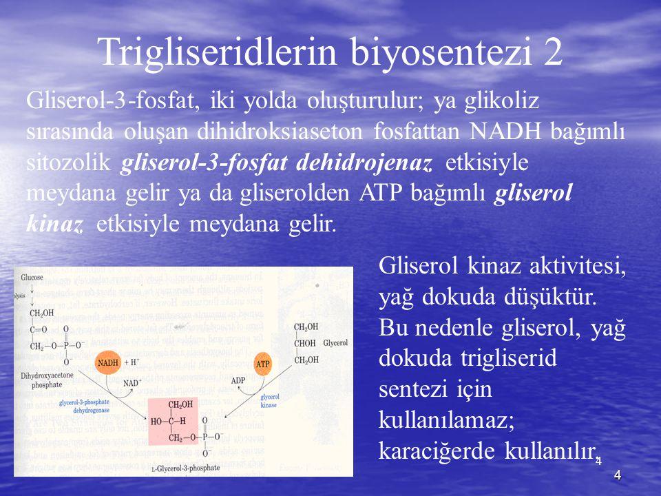 4 4 Trigliseridlerin biyosentezi 2 Gliserol-3-fosfat, iki yolda oluşturulur; ya glikoliz sırasında oluşan dihidroksiaseton fosfattan NADH bağımlı sitozolik gliserol-3-fosfat dehidrojenaz etkisiyle meydana gelir ya da gliserolden ATP bağımlı gliserol kinaz etkisiyle meydana gelir.