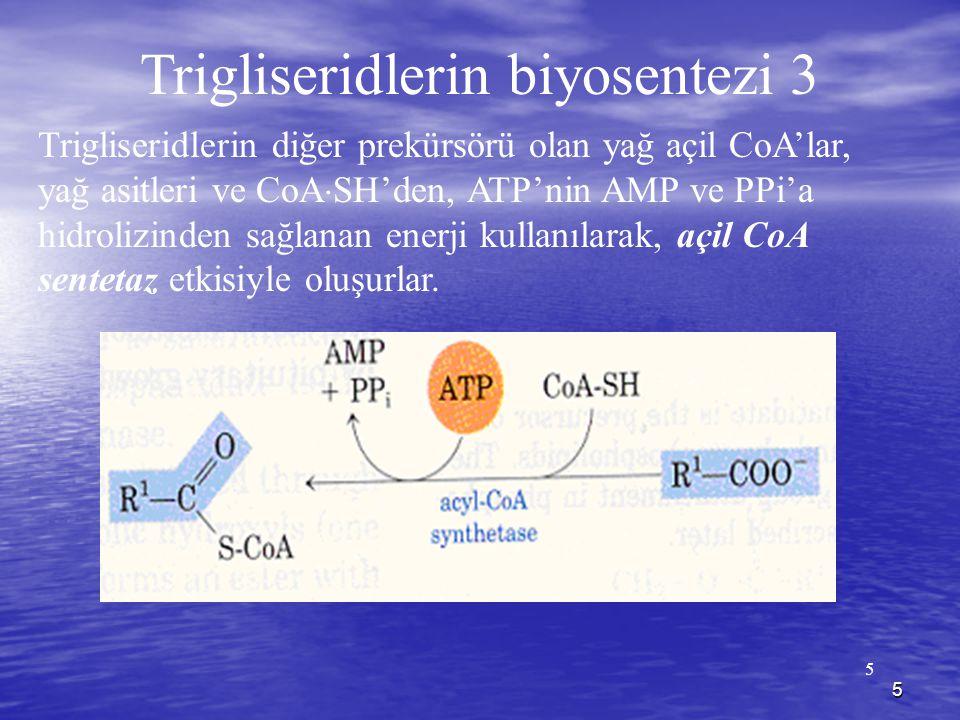 5 5 Trigliseridlerin biyosentezi 3 Trigliseridlerin diğer prekürsörü olan yağ açil CoA'lar, yağ asitleri ve CoA  SH'den, ATP'nin AMP ve PPi'a hidrolizinden sağlanan enerji kullanılarak, açil CoA sentetaz etkisiyle oluşurlar.