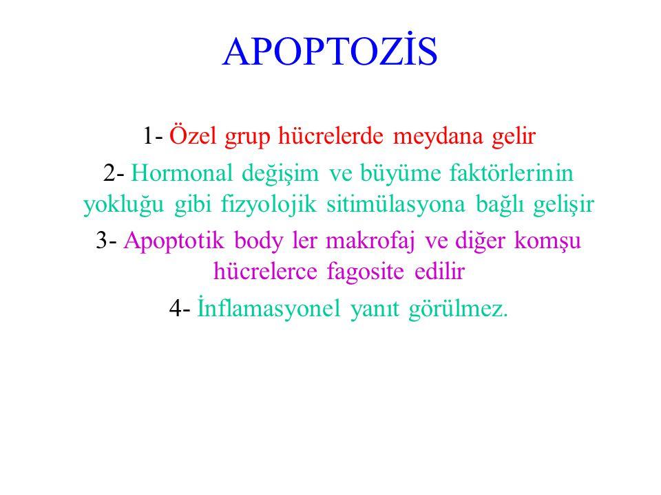 APOPTOZİS 1- Özel grup hücrelerde meydana gelir 2- Hormonal değişim ve büyüme faktörlerinin yokluğu gibi fizyolojik sitimülasyona bağlı gelişir 3- Apo