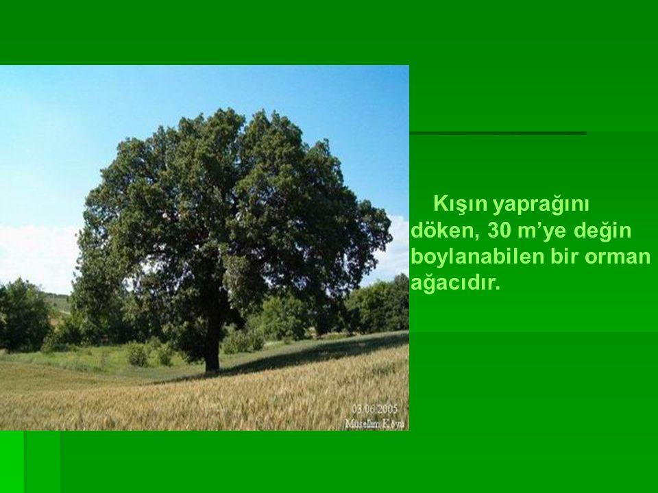 Kışın yaprağını döken, 30 m'ye değin boylanabilen bir orman ağacıdır.