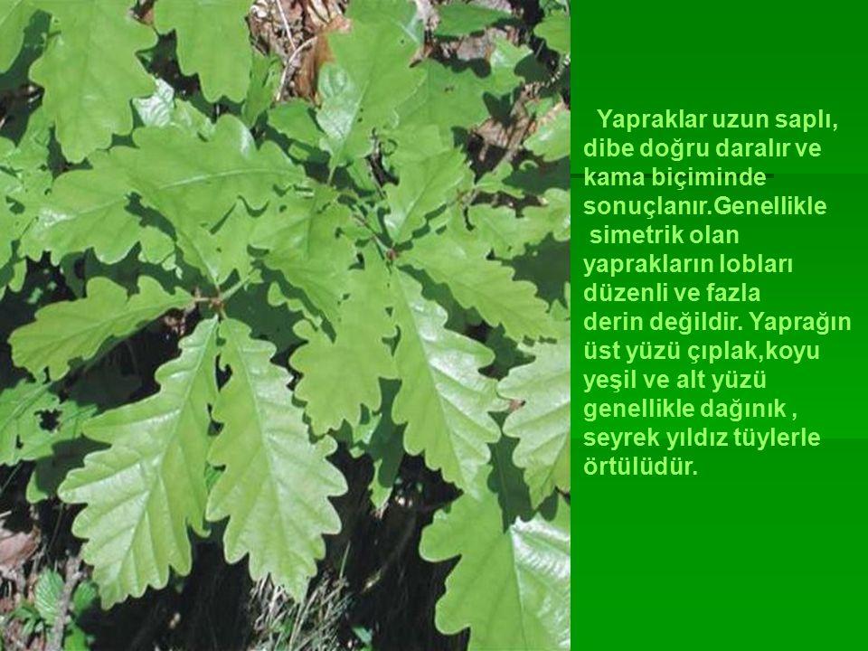 Yapraklar uzun saplı, dibe doğru daralır ve kama biçiminde sonuçlanır.Genellikle simetrik olan yaprakların lobları düzenli ve fazla derin değildir.