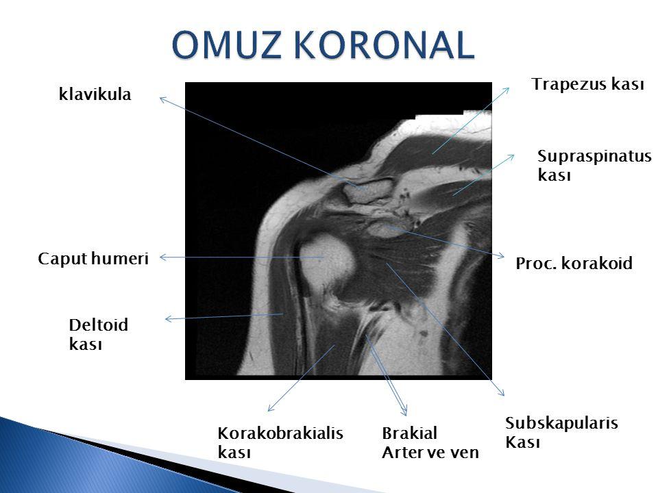 Trapezus kası Supraspinatus kası Proc. korakoid Subskapularis Kası Brakial Arter ve ven Korakobrakialis kası Deltoid kası klavikula Caput humeri