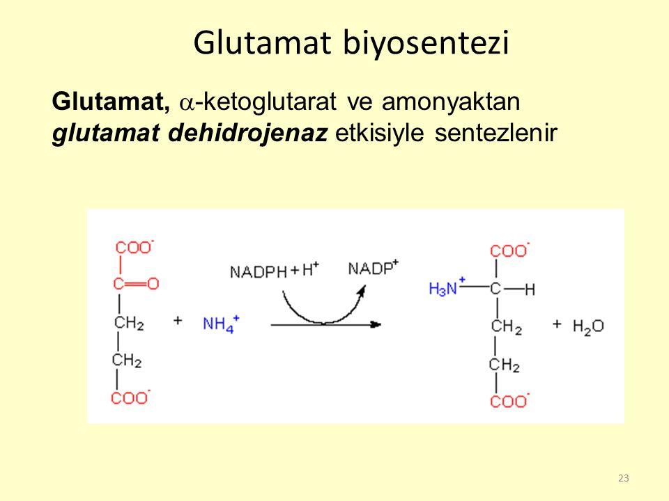 23 Glutamat biyosentezi Glutamat,  -ketoglutarat ve amonyaktan glutamat dehidrojenaz etkisiyle sentezlenir
