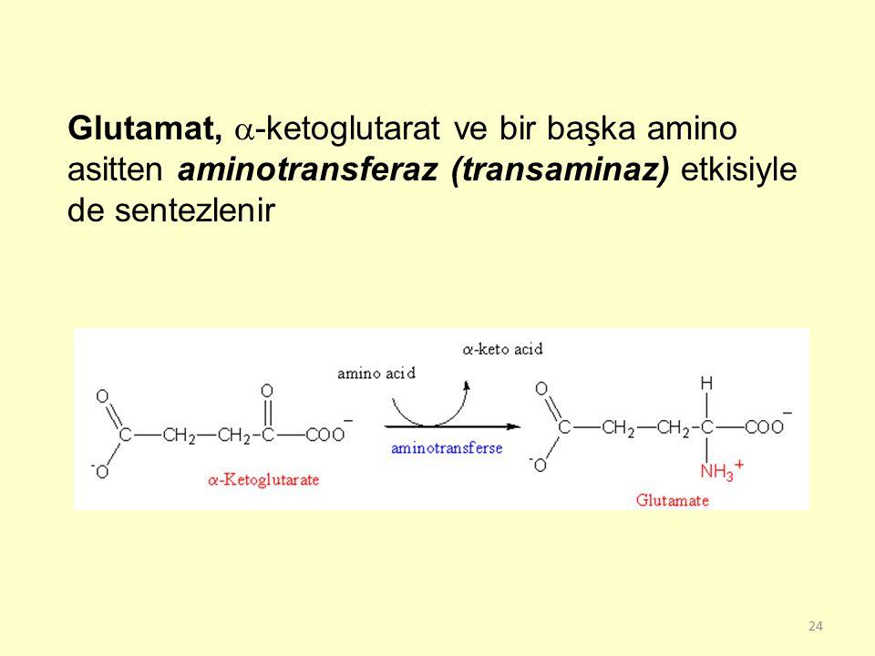 24 Glutamat,  -ketoglutarat ve bir başka amino asitten aminotransferaz (transaminaz) etkisiyle de sentezlenir