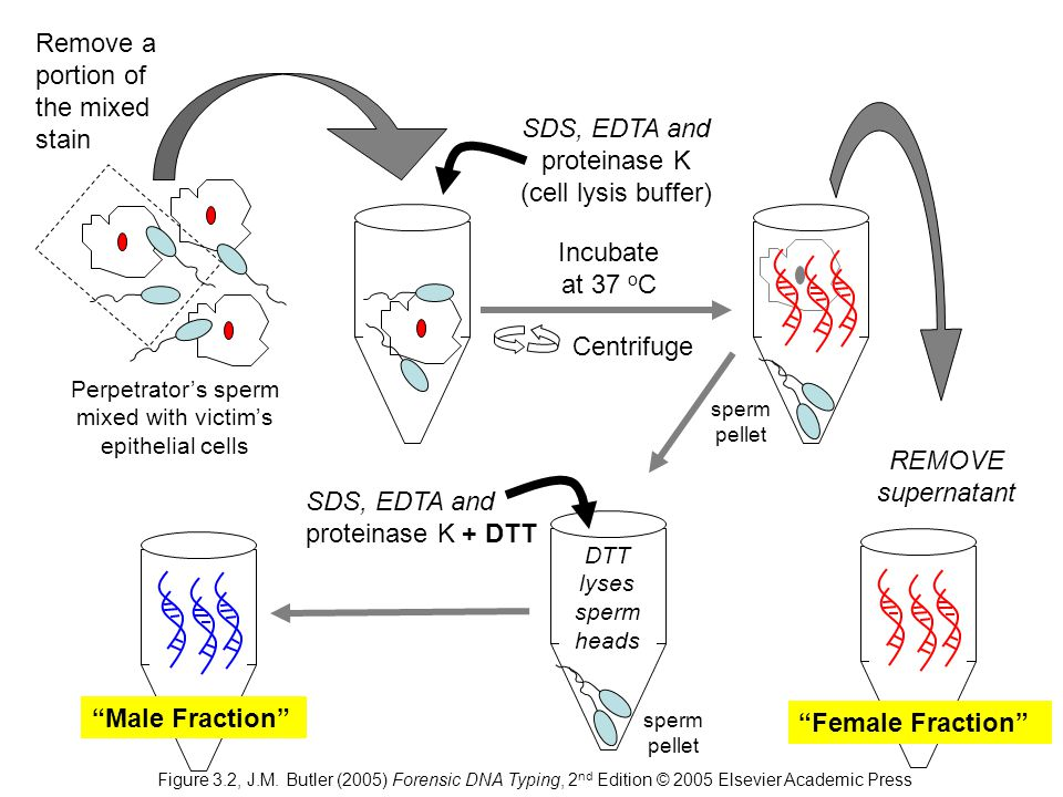 Perpetrator's sperm mixed with victim's epithelial cells Centrifuge REMOVE supernatant SDS, EDTA and proteinase K (cell lysis buffer) Remove a portion of the mixed stain SDS, EDTA and proteinase K + DTT Incubate at 37 o C sperm pellet DTT lyses sperm heads Male Fraction Female Fraction sperm pellet Figure 3.2, J.M.