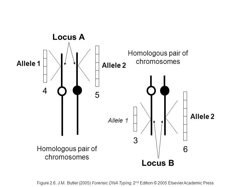 6 3 4 5 Homologous pair of chromosomes Locus A Locus B Allele 1 Allele 2 Allele 1 Figure 2.6, J.M. Butler (2005) Forensic DNA Typing, 2 nd Edition © 2