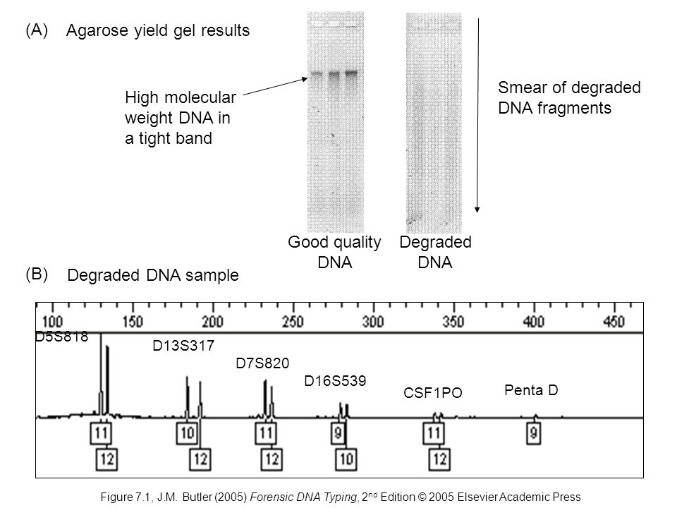 Degraded DNA sample D5S818 D13S317 D7S820 D16S539 CSF1PO Penta D Agarose yield gel results Smear of degraded DNA fragments High molecular weight DNA in a tight band (A) (B) Good quality DNA Degraded DNA Figure 7.1, J.M.