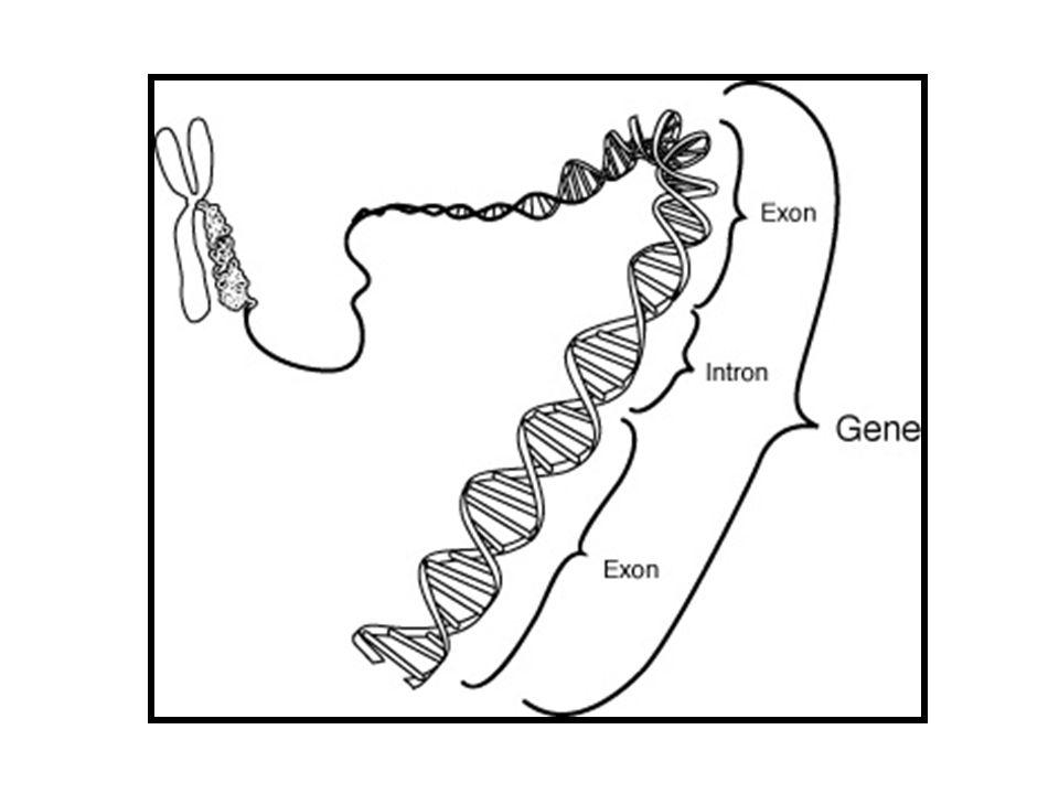 replikasyon transkripsiyon işlenme translasyon SANTRAL DOĞMA