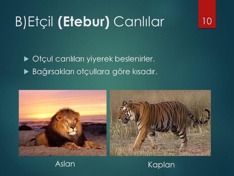 B)Etçil (Etebur) Canlılar  Otçul canlıları yiyerek beslenirler.  Bağırsakları otçullara göre kısadır. 10 Aslan Kaplan