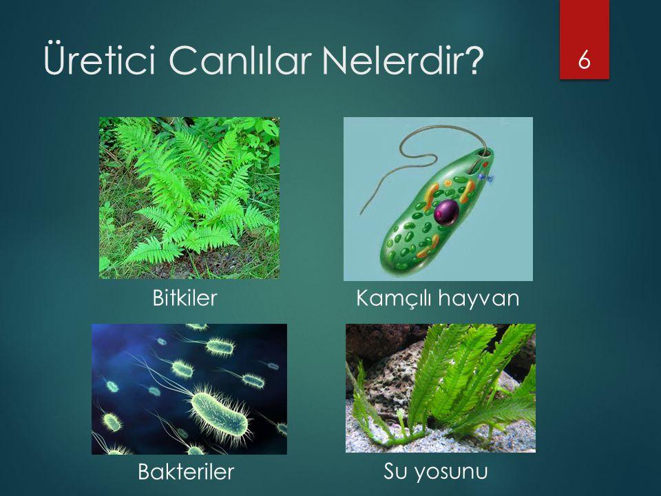 Üretici Canlılar Nelerdir ? 6 Bitkiler Bakteriler Kamçılı hayvan Su yosunu