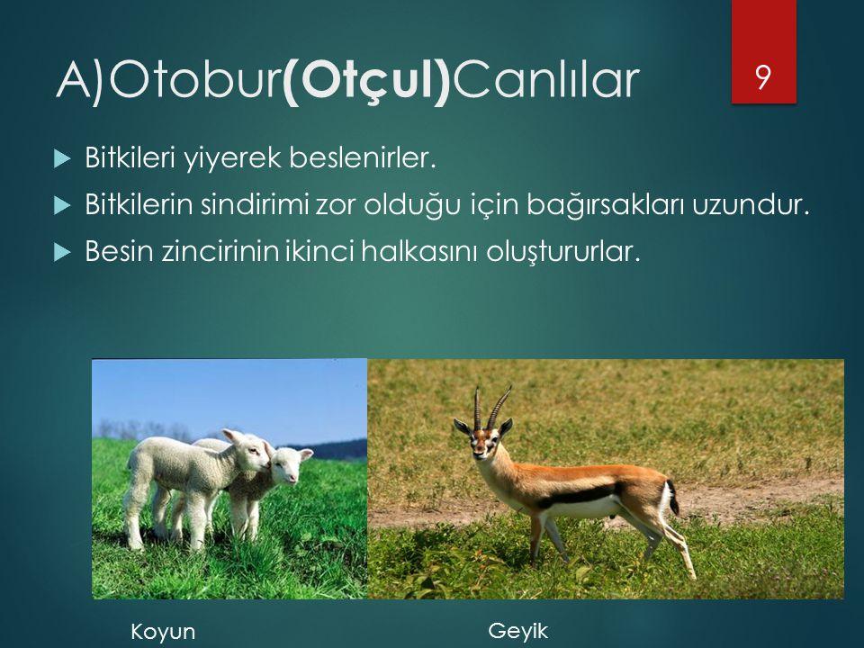 A)Otobur (Otçul) Canlılar  Bitkileri yiyerek beslenirler.  Bitkilerin sindirimi zor olduğu için bağırsakları uzundur.  Besin zincirinin ikinci halk