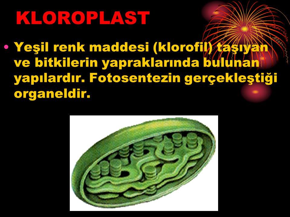 KLOROPLAST Yeşil renk maddesi (klorofil) taşıyan ve bitkilerin yapraklarında bulunan yapılardır. Fotosentezin gerçekleştiği organeldir.