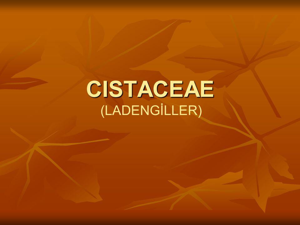 BİLİMSEL SINIFLANDIRMA Alem:Plantae Takım:Violales Familya:Cistacee Cins:Cistus L.