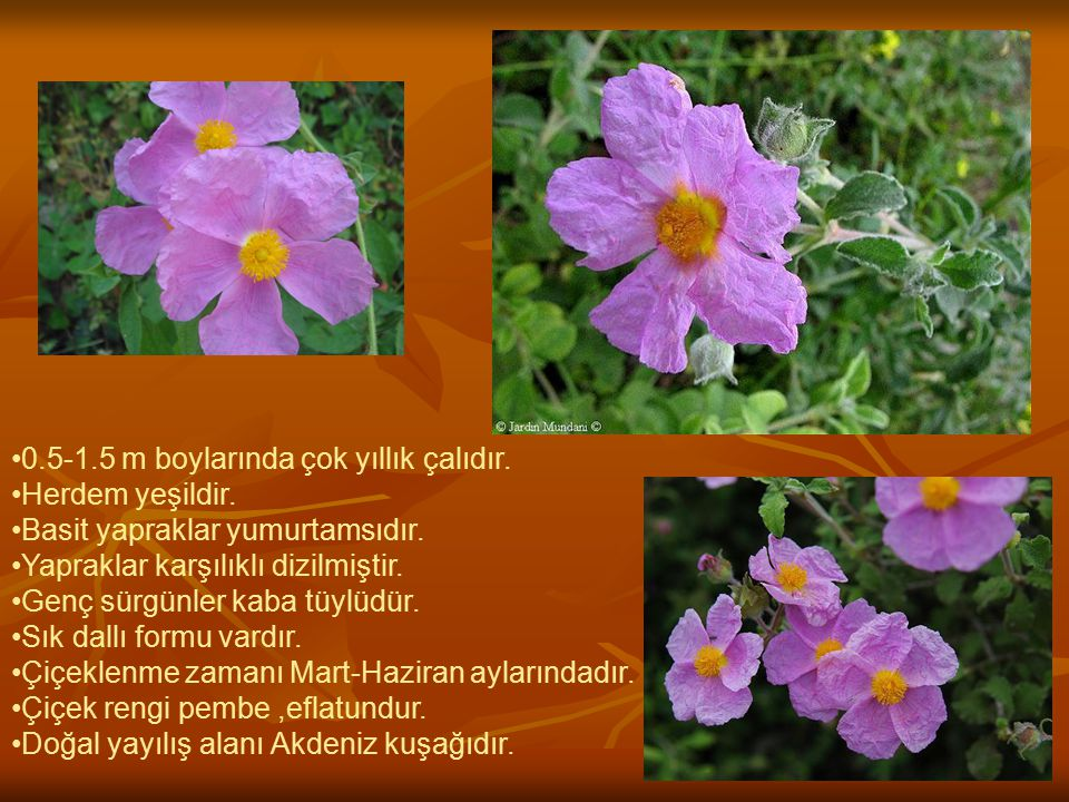 BİLİMSEL SINIFLANDIRMA Alem:Plantae Takım:Violales Familya:Cistaceae Cins:Cistus L.