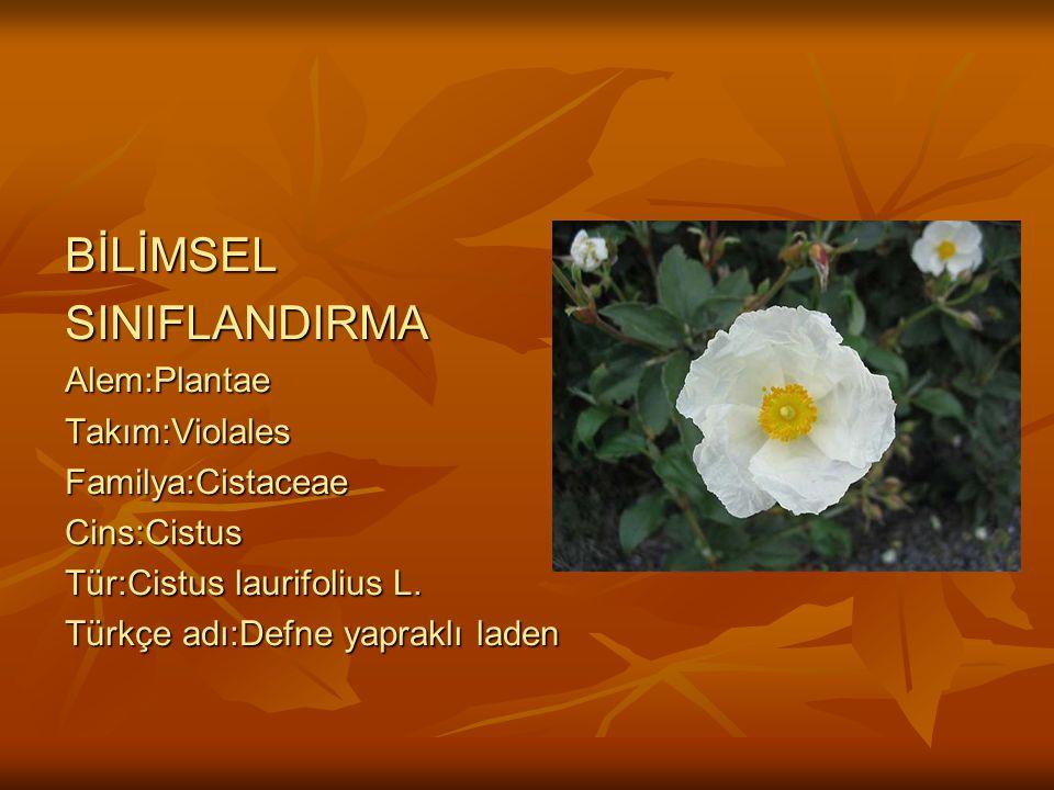 BİLİMSELSINIFLANDIRMAAlem:PlantaeTakım:ViolalesFamilya:CistaceaeCins:Cistus Tür:Cistus laurifolius L.
