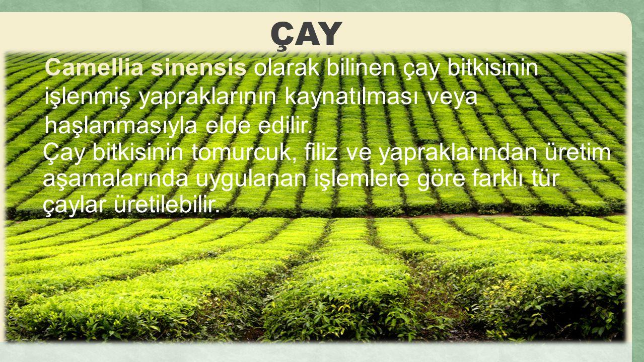 ÇAY Camellia sinensis olarak bilinen çay bitkisinin işlenmiş yapraklarının kaynatılması veya haşlanmasıyla elde edilir. Çay bitkisinin tomurcuk, filiz