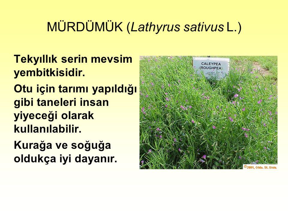 MÜRDÜMÜK (Lathyrus sativus L.) Tekyıllık serin mevsim yembitkisidir.