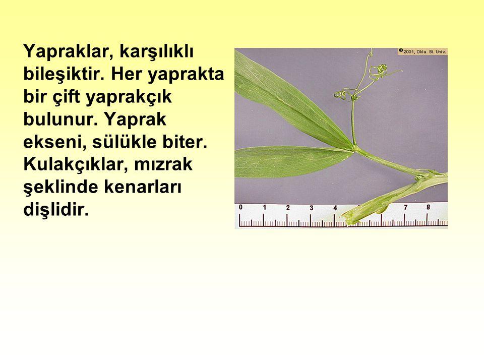Yapraklar, karşılıklı bileşiktir.Her yaprakta bir çift yaprakçık bulunur.