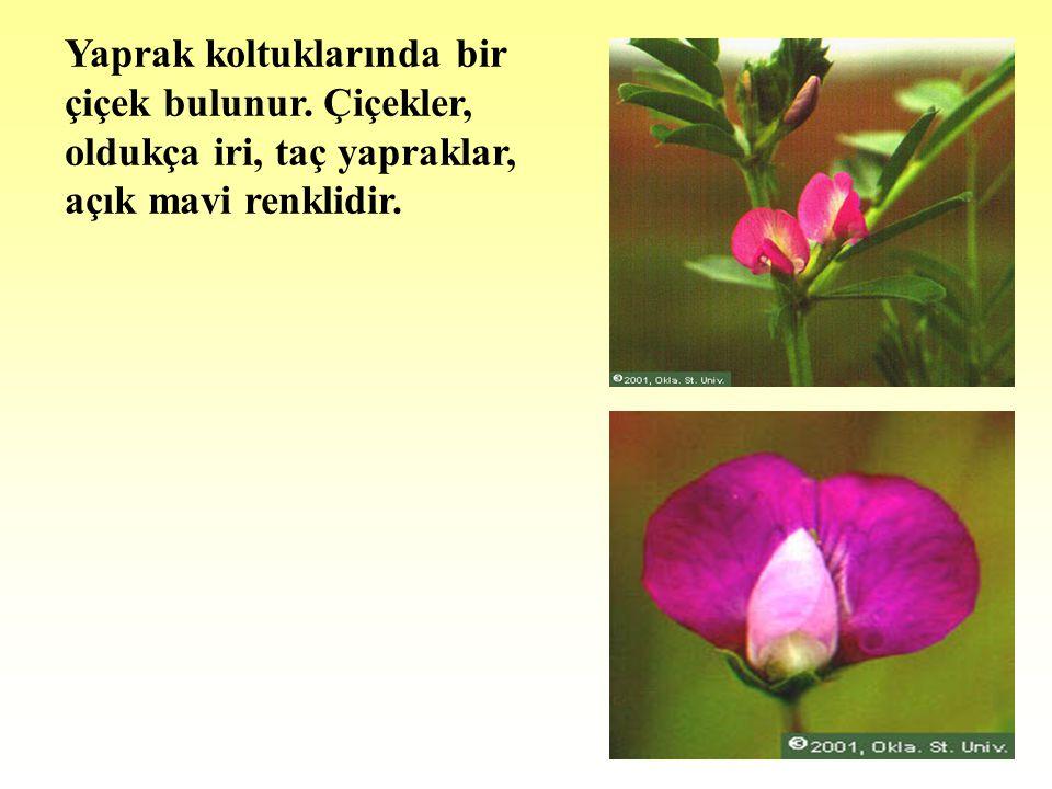 Yaprak koltuklarında bir çiçek bulunur. Çiçekler, oldukça iri, taç yapraklar, açık mavi renklidir.