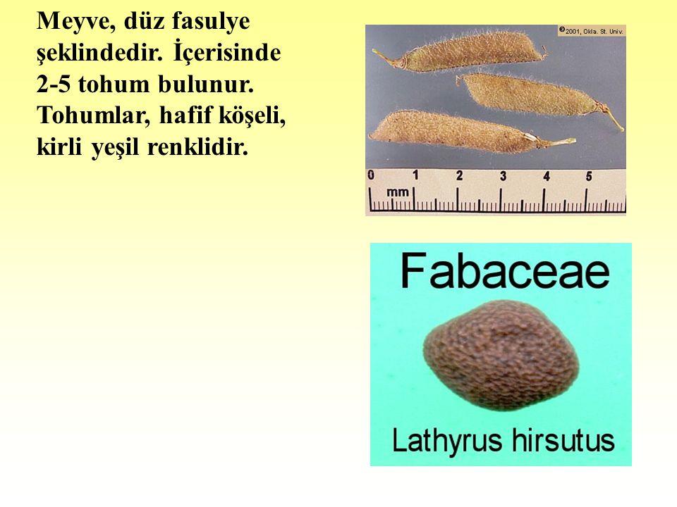 Meyve, düz fasulye şeklindedir.İçerisinde 2-5 tohum bulunur.