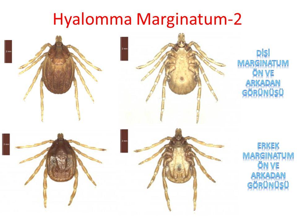 Hyalomma anatolicum(Anadolu Kenesi)