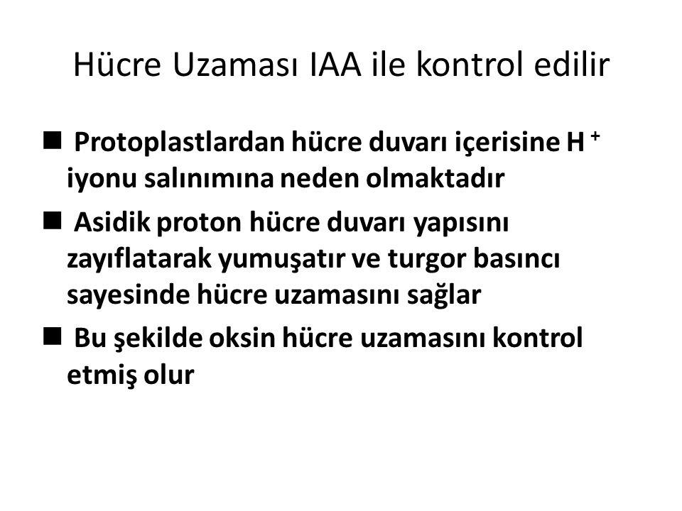 Hücre Uzaması IAA ile kontrol edilir Protoplastlardan hücre duvarı içerisine H + iyonu salınımına neden olmaktadır Asidik proton hücre duvarı yapısını