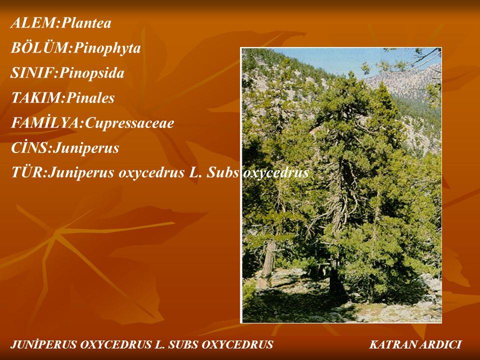 ALEM:Plantea BÖLÜM:Pinophyta SINIF:Pinopsida TAKIM:Pinales FAMİLYA:Cupressaceae CİNS:Juniperus TÜR:Juniperus oxycedrus L. Subs oxycedrus JUNİPERUS OXY