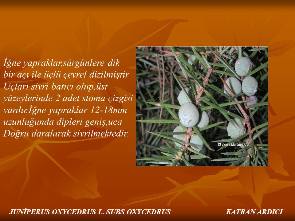 İğne yapraklar,sürgünlere dik bir açı ile üçlü çevrel dizilmiştir Uçları sivri batıcı olup,üst yüzeylerinde 2 adet stoma çizgisi vardır.İğne yapraklar